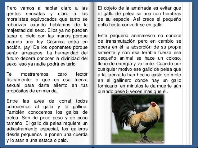 El objeto de la amarrada es evitar que  el gallo de pelea se una con hembras  de su especie. Así crece el pequeño  pollo h...