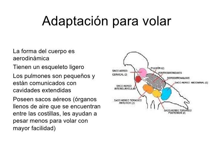 Adaptación para volarLa forma del cuerpo esaerodinámicaTienen un esqueleto ligeroLos pulmones son pequeños yestán comunica...