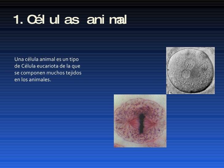 1.Células animal Una célula animal es un tipo de Célula eucariota de la que  se componen muchos tejidos  en los animales.