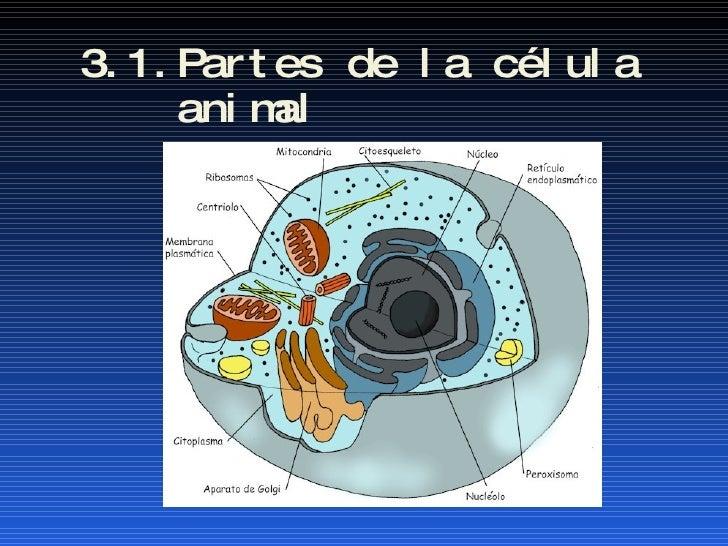 3.1.Partes de la célula  animal