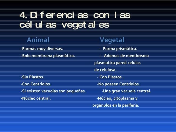 4.Diferencias con las células vegetales <ul><li>Animal   Vegetal </li></ul><ul><li>-Formas muy diversas.  -  Forma prismát...