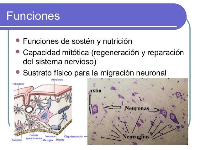 Funciones  Funciones  de sostén y nutrición  Capacidad mitótica (regeneración y reparación del sistema nervioso)  Sustr...