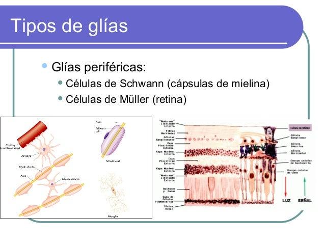 Tipos de glías  Glías  periféricas:   Células  de Schwann (cápsulas de mielina)  Células de Müller (retina)