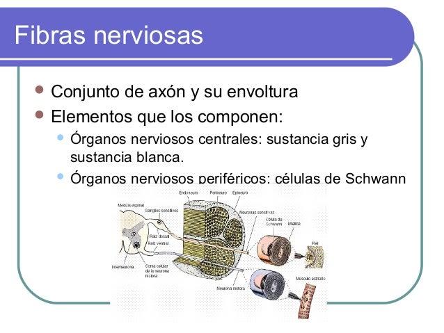 Fibras nerviosas  Conjunto  de axón y su envoltura  Elementos que los componen: Órganos nerviosos centrales: sustancia g...