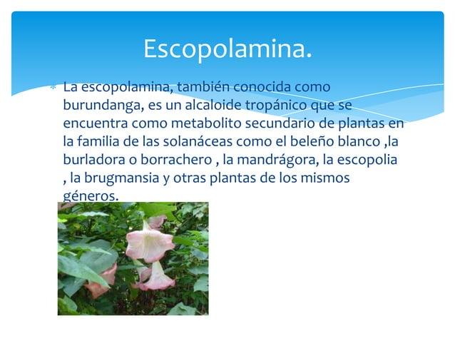 La escopolamina, también conocida comoburundanga, es un alcaloide tropánico que seencuentra como metabolito secundario de ...