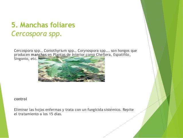 Las enfermedades en las plantas - Enfermedades de las plantas de interior ...
