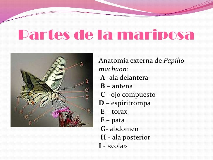 Las mariposas moniq