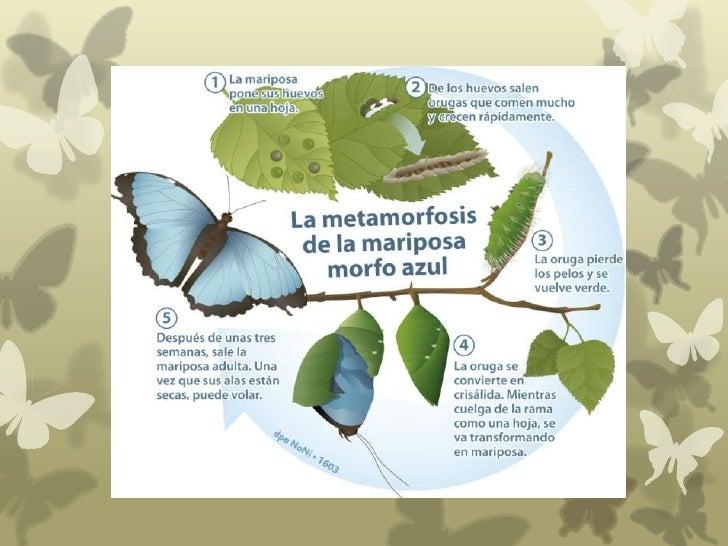Las mariposas y su metamorfosis