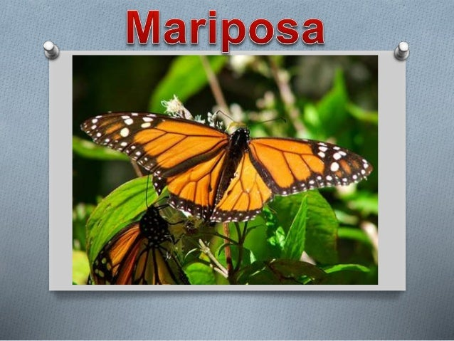 ¿Que son las mariposas? O Las mariposas son insectos, su cuerpo está formado por tres partes: cabeza, tórax y abdomen y ti...