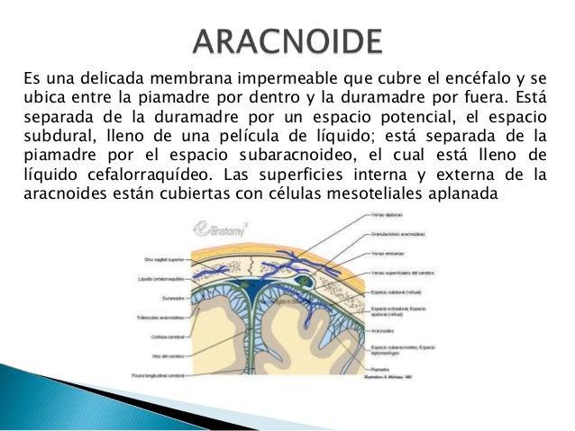 Es una delicada membrana impermeable que cubre el encéfalo y se ubica entre la piamadre por dentro y la duramadre por fuer...