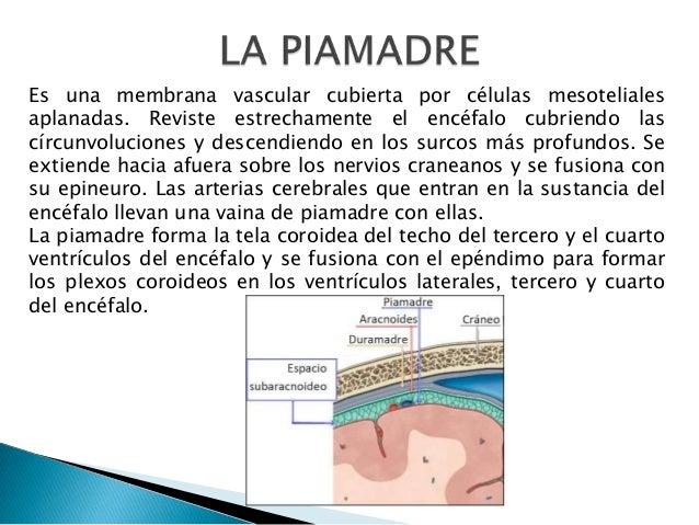 Es una membrana vascular cubierta por células mesoteliales aplanadas. Reviste estrechamente el encéfalo cubriendo las círc...