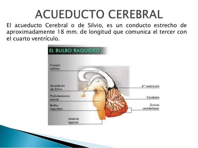 El acueducto Cerebral o de Silvio, es un conducto estrecho de aproximadamente 18 mm. de longitud que comunica el tercer co...