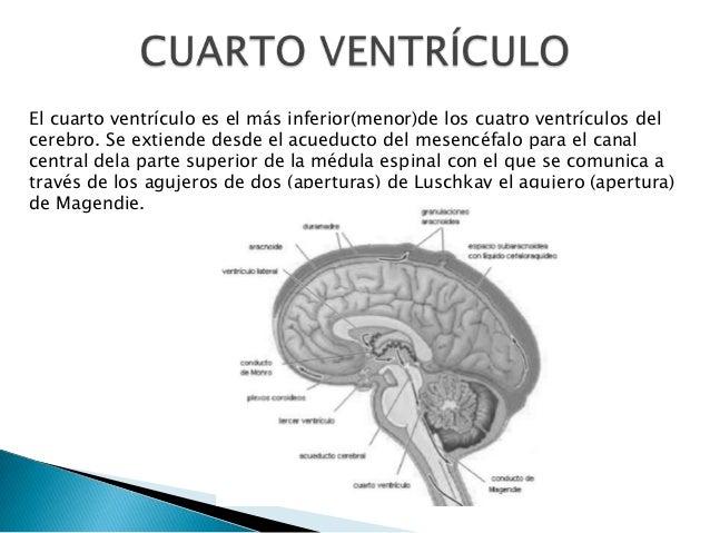 El cuarto ventrículo es el más inferior(menor)de los cuatro ventrículos del cerebro. Se extiende desde el acueducto del me...