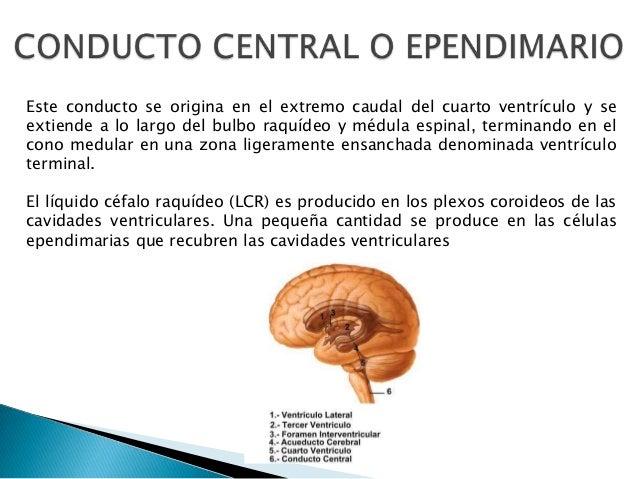 Este conducto se origina en el extremo caudal del cuarto ventrículo y se extiende a lo largo del bulbo raquídeo y médula e...