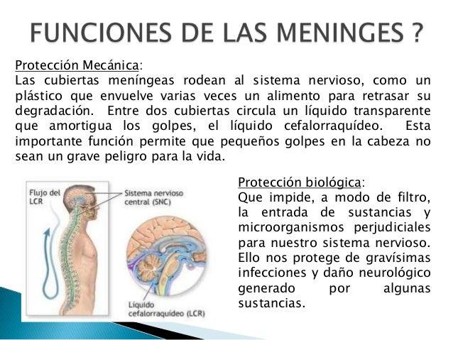 Protección Mecánica: Las cubiertas meníngeas rodean al sistema nervioso, como un plástico que envuelve varias veces un ali...