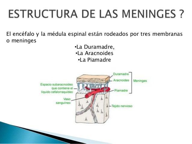 El encéfalo y la médula espinal están rodeados por tres membranas o meninges •La Duramadre, •La Aracnoides •La Piamadre