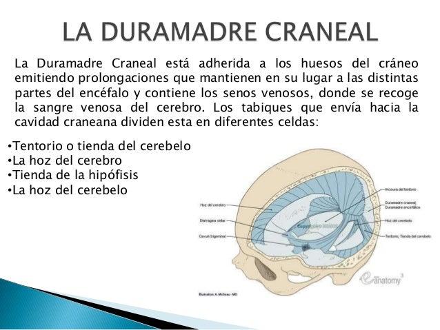 La Duramadre Craneal está adherida a los huesos del cráneo emitiendo prolongaciones que mantienen en su lugar a las distin...