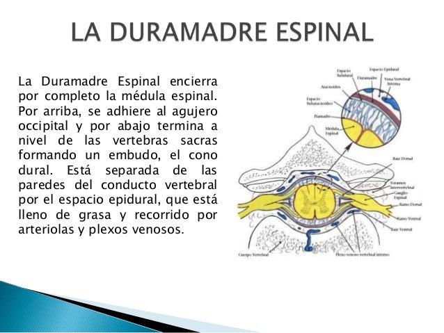 La Duramadre Espinal encierra por completo la médula espinal. Por arriba, se adhiere al agujero occipital y por abajo term...