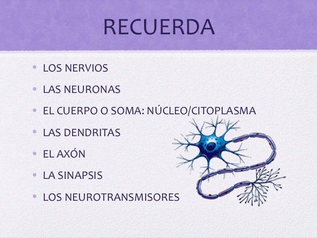 RECUERDA• LOS NERVIOS• LAS NEURONAS• EL CUERPO O SOMA: NÚCLEO/CITOPLASMA• LAS DENDRITAS• EL AXÓN• LA SINAPSIS• LOS NEUROTR...