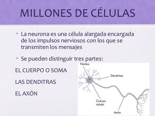MILLONES DE CÉLULAS• La neurona es una célula alargada encargadade los impulsos nerviosos con los que setransmiten los men...