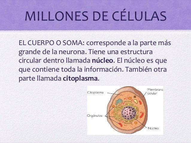 MILLONES DE CÉLULASEL CUERPO O SOMA: corresponde a la parte másgrande de la neurona. Tiene una estructuracircular dentro l...