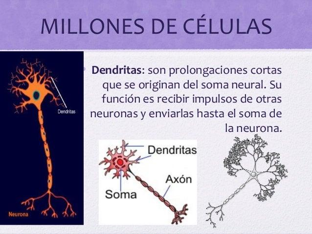 MILLONES DE CÉLULAS• Dendritas: son prolongaciones cortasque se originan del soma neural. Sufunción es recibir impulsos de...