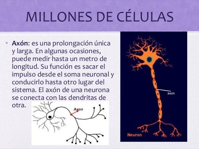 MILLONES DE CÉLULAS• Axón: es una prolongación únicay larga. En algunas ocasiones,puede medir hasta un metro delongitud. S...