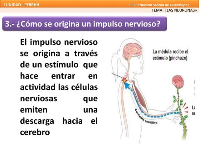3.- ¿Cómo se origina un impulso nervioso? El impulso nervioso se origina a través de un estímulo que hace entrar en activi...