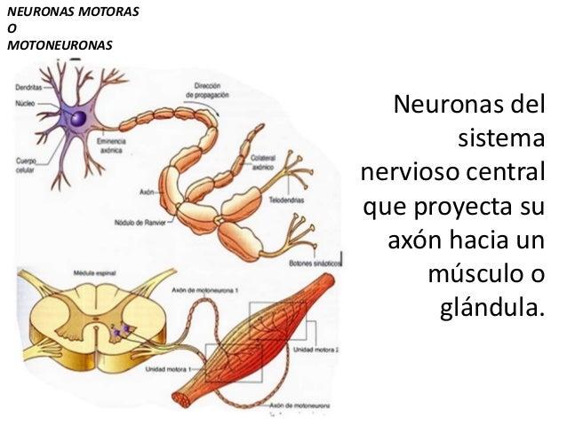 Resultado de imagen de Las neuronas