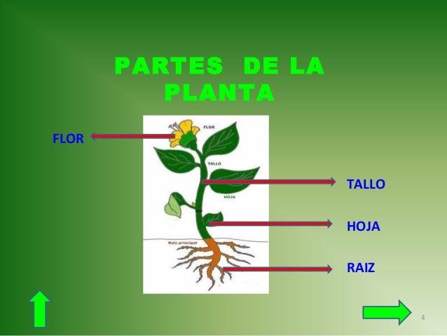 Las partes de las plantas - Cosas sobre las plantas ...