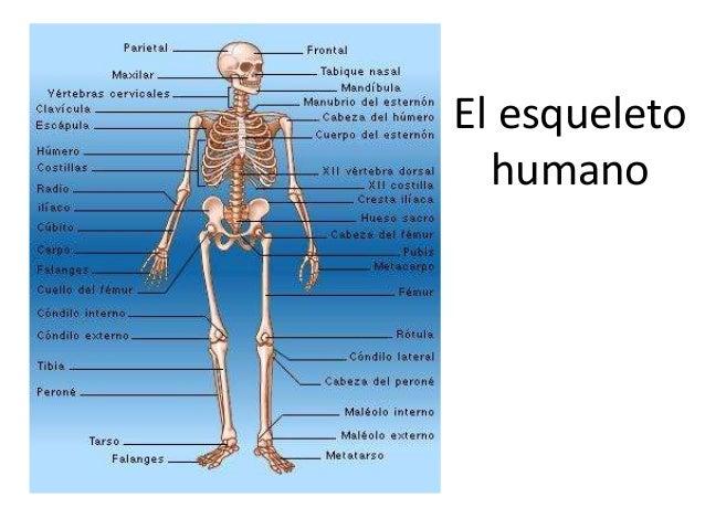 Las partes del cuerpo humano
