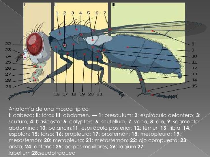 Excepcional Fruta Anatomía Mosca Friso - Anatomía de Las Imágenesdel ...