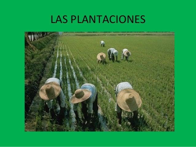 LAS PLANTACIONES