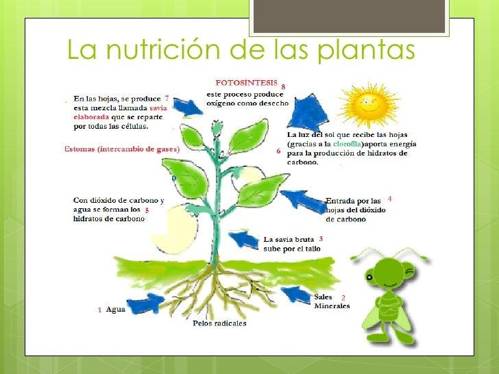 Las plantas funciones vitales for Funcion de las plantas ornamentales