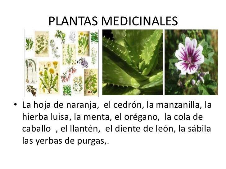 Las plantas yolanda reinoso for Plantas medicinales y ornamentales