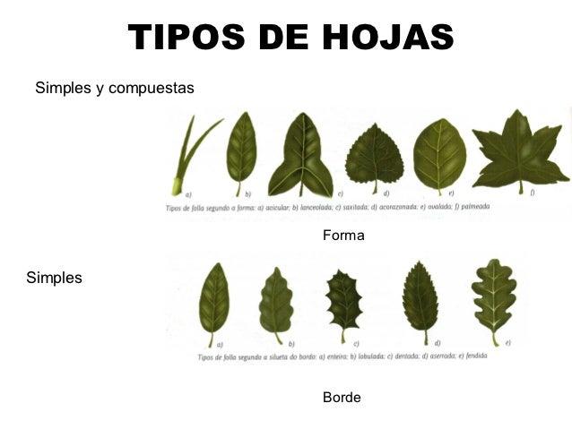 Las plantas for Hojas ornamentales con sus nombres