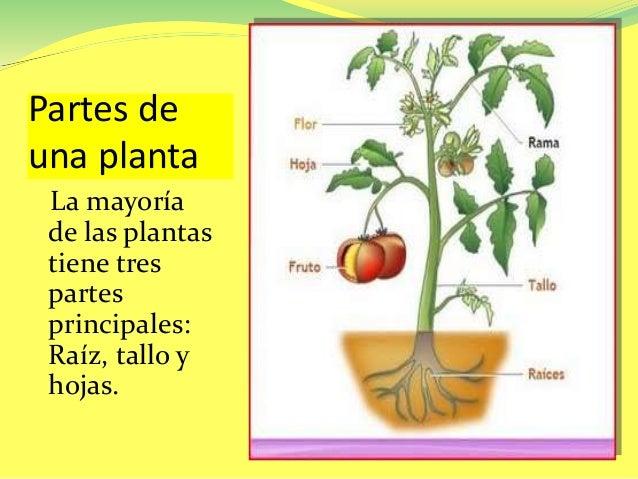 partes de una planta la mayoría de las plantas tiene