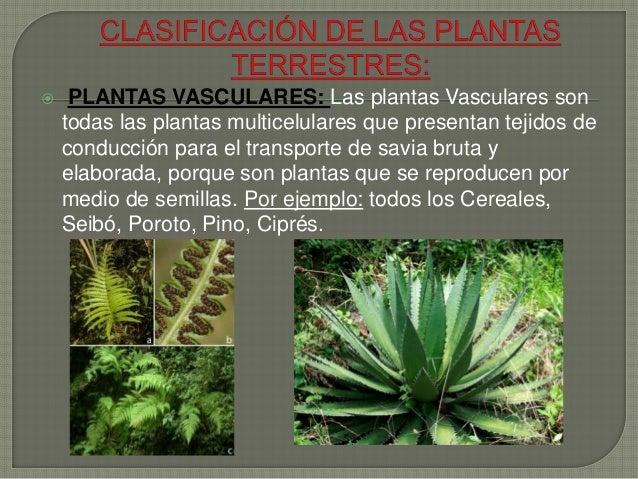 plantas vasculares las plantas vasculares son todas las plantas