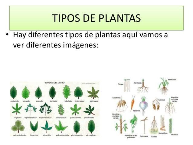 Las plantas for Tipos de hojas ornamentales
