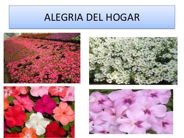 Las plantas - Planta alegria del hogar ...