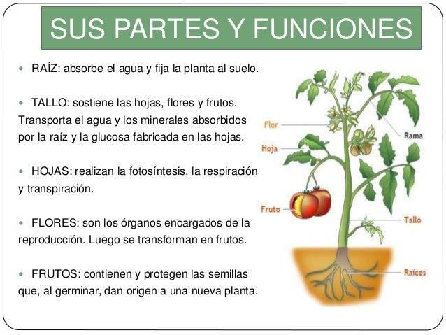 Las plantas partes clasificaci n for Funcion de las plantas ornamentales