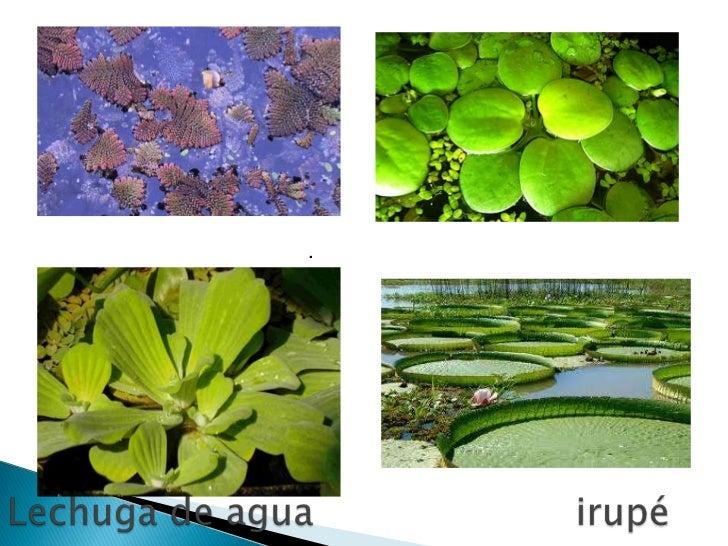 Las plantas acuaticas Nombres de plantas comunes