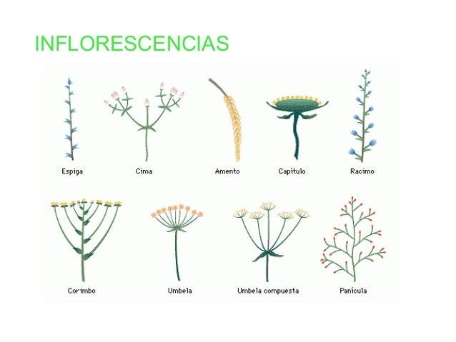 Las plantas clasificacion sencilla for Clasificacion de las plantas ornamentales