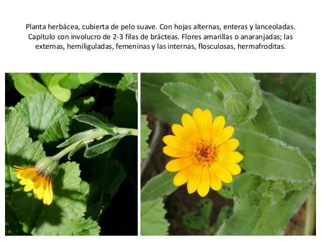Las Plantas Medicinales De La Desembocadura Del Guadalhorce