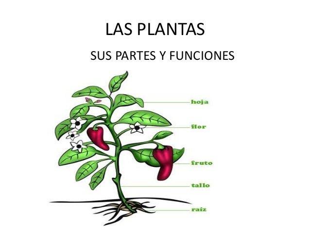Las plantas sus partes y funciones for Cuales son las plantas ornamentales y sus nombres