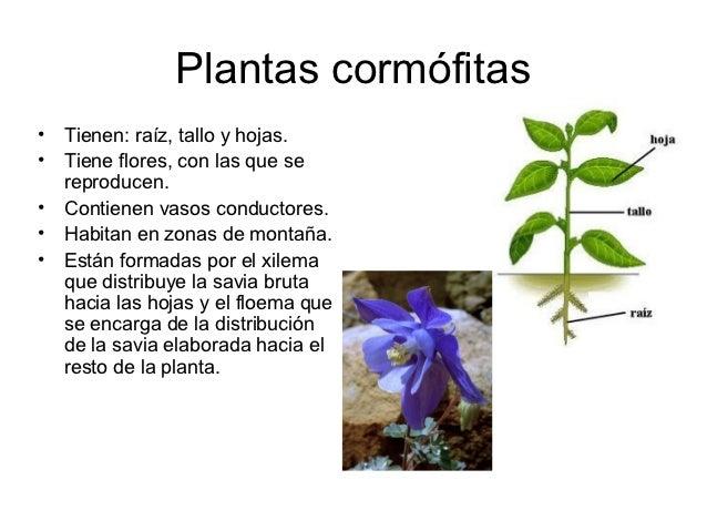 Plantas cormófitas•   Tienen: raíz, tallo y hojas.•   Tiene flores, con las que se    reproducen.•   Contienen vasos condu...