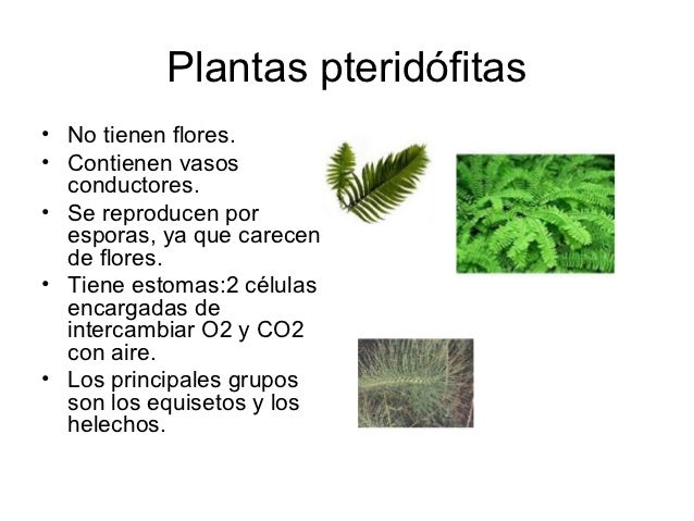 Plantas pteridófitas• No tienen flores.• Contienen vasos  conductores.• Se reproducen por  esporas, ya que carecen  de flo...