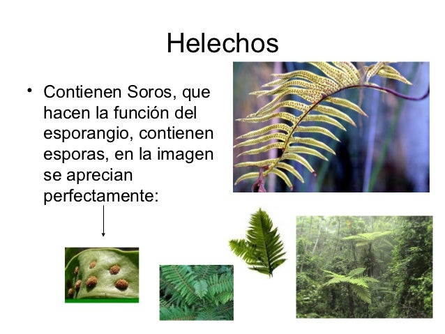 Helechos• Contienen Soros, que  hacen la función del  esporangio, contienen  esporas, en la imagen  se aprecian  perfectam...