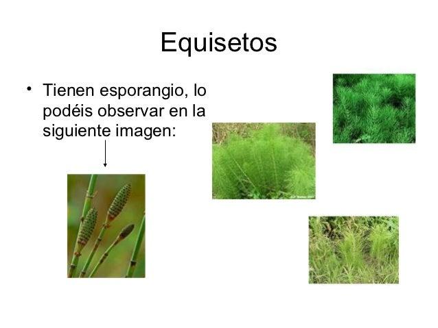 Equisetos• Tienen esporangio, lo  podéis observar en la  siguiente imagen: