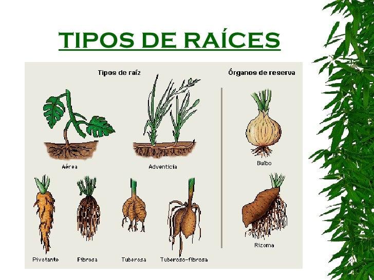 tipos de raíces 11 tipos de tallos pueden ser herbáceos